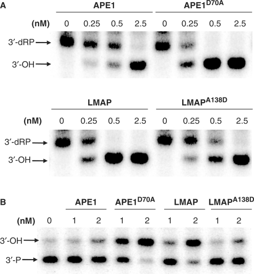 Effect of the amino acid substitutions on the removal of different 3′-blocking groups. (A) The 3′-phosphodiesterase activity of APE1, APE1D70A (upper gel), LMAP and LMAPA138D (lower gel) was tested on 21-mer DNA duplex containing a nick with a 3′-dRP residue and labeled at the 5′ of the lesion-carrying strand. Increasing amounts of the AP endonucleases (0–2.5 nM) were incubated for 10 min at 37°C with the oligonucleotide substrate (5 nM) under standard reaction conditions. (B) The 3′-phosphatase activity was tested on a 32P-labeled 21-mer DNA duplex containing a nick with a 3′-P residue produced as described in Materials and Methods section. Two concentrations of enzyme (1 nM and 2 nM) were incubated 10 min at 37°C with the double-stranded oligonucleotide substrate (5 nM) under standard reaction conditions. The products of the reactions were separated by denaturing 20% PAGE. Positions in the gel of the substrates and the 3′-OH product of the reaction are indicated with arrows.