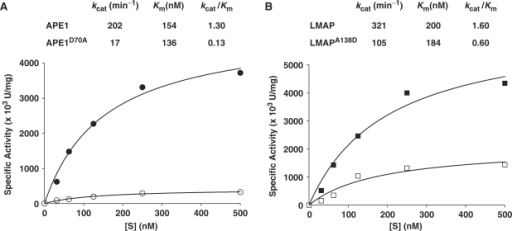 Michaelis–Menten plots for the calculation of the Km and Vmax values of the AP endonuclease activity. (A) APE1 (filled circle), APE1D70A (open circle); (B) LMAP (filled square), LMAPA138D (open square). The kcat and Km values represent the average from three independent determinations. Standard deviations did not exceed 20% for any of the values calculated.