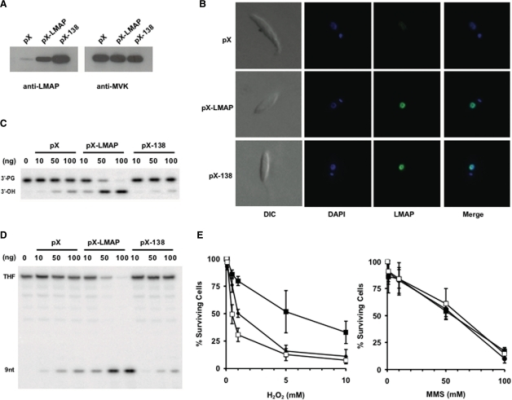 Sensitivity of Leishmania cells to H2O2 and MMS-induced DNA damages. (A) Western blot showing LMAP protein levels in whole cell extracts from 2.5 × 106 parasites harboring vector pX63-Neo (cell line pX), expressing wild-type LMAP (cell line pX-LMAP) or LMAPA138D (cell line pX-138). As control of charge, level of mevalonate kinase protein was measured in the three cell lines. (B) Immunofluorescence analysis was performed to establish the intracellular localization of LMAP in L. major cell lines pX, pX-LMAP and pX138. Nuclear and kinetoplast DNA were stained with DAPI and LMAP and LMAPA138D were detected with anti-LmAP and FITC conjugated anti-rabbit secondary antibody. Images were collected with a Zeiss Axiophot microscope. (C) The 3′-phosphodiesterase and (D) AP endonuclease activities of whole cell extracts from cell lines pX, pX-LMAP and pX-138 were tested on 21-mer DNA duplex containing a nick with a 3′-PG residue or a THF residue, respectively, and labeled at the 5′ of the lesion-carrying strand. Increasing amounts of protein (0–100 ng) were incubated for 30 min at 37°C with the oligonucleotide substrate (2000 nM) under standard reaction conditions. The products of the reactions were separated by denaturing 20% PAGE. (E) A total of 107 cells/ml from mid-log phase Leishmania cultures were exposed to increasing concentrations of H2O2 (left) or MMS (right) concentrations for 1 h at 28°C in M199 medium supplemented with 10% fetal bovine serum. After exposure to the genotoxic agent, cells were centrifuged, washed, resuspended in the same volume of PBS buffer and incubated with resazurin for 1 h at 28°C. Fluorescence was measured at 570 nm excitation wavelength and 590 nm emission wavelength. Experiments for each compound were performed three times, in duplicate.