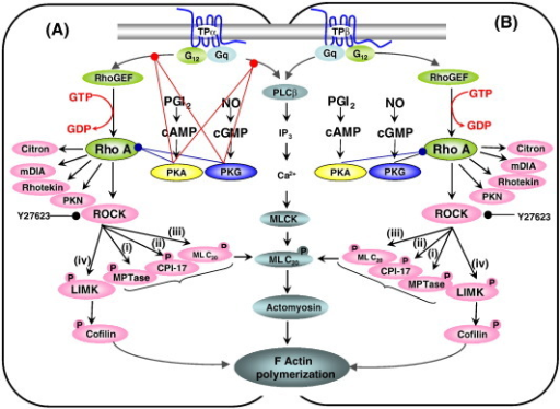 fig10:Differential regulation of RhoA-mediated signaling ...