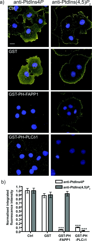 Competition for plasma membrane PtdIns4P staining by PH-FAPP1(a) The indicated GST-tagged fusion proteins were included at 10 μM with the primary anti-PtdIns4P or anti-PtdIns(4,5)P2 antibodies applied to COS-7 cells. Staining conditions are as in Figure 7. Images are maximum intensity projections of confocal sections spanning the entire depth of the cells. Scale bar=20 μm. DAPI stained nuclei are in blue indicating the presence of cells where lipid staining is absent. (b) Quantification of staining (n=126 cells for anti-PtdIns4P antibody and 123 cells for anti-PtdIns(4,5)P2 antibody). See the Experimental section for details. ***P<0.001.