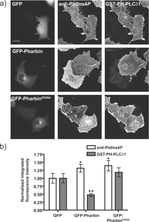 Effect of a 5-phosphatase on plasma membrane PtdIns4P/PtdIns(4,5)P2 labellingCOS-7 cells were transfected with GFP, GFP-Pharbin or the putatively inactive mutant of the latter, D559A, for 18 h prior to fixation and staining as described in Figure 7. (a) Representative images of COS-7 cells transfected with each construct. Images are maximum intensity projections of confocal sections spanning the entire depth of the cells. Scale bar=20 μm. (b) Quantification of staining (n=93 cells). See the Experimental section for details. *P<0.05, **P<0.01.