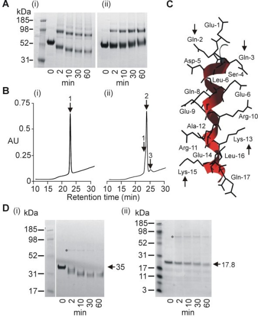 Analysis of cross-linking site. A. PAGE analysis of LSA-NRC TG2-cross-linking in the absence (i) or presence (ii) of peptide corresponding to the major repeat sequence of LSA-1. B. RP-HPLC analysis of a peptide corresponding to the major repeat sequence of LSA-1 before (i) and after (ii) gpTG2 treatment for 2 h at 100 μg/ml gpTG2. Position of monomers [retention time 23.3 min] (1), dimers [retention time 24.5 min] (2) and trimers [retention time 25.6 min] (3) are indicated. (ii). C. Tertiary structure of a single LSA-1 major repeat as predicted by Robetta modeling. Arrows indicate glutamines and lysines predicted to be involved in TG2 mediated cross-linking. D. PAGE analysis of gpTG2 cross-linking of LSA-NRC-C (i) and LSA-NRC-N (ii). * indicates band formed by the gpTG2 enzyme (MW - 76.6 kDa).