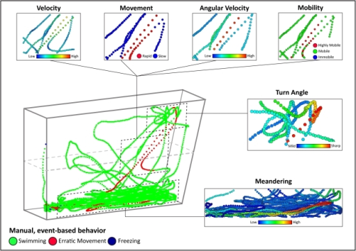 "Macro- and micro-level behavioral analysis with three-dimensional (3D) spatial reconstruction of swim path.The reconstructed swim path presented here as an example was obtained from a naïve, wild-type control zebrafish tested in a standard novel tank test for 6 min (see Fig. 6 for more examples). Wild-type fish can be considered ""mild anxiety"", compared to both anxiolytic (low anxiety) and anxiogenic (high anxiety) cohorts listed in Fig. 3. Although this fish spent a majority of the trial within the bottom half of the tank, the animal also made large sweeping transitions into the upper half. A detailed spatial dissection of 3D locomotion here revealed that (like temporal 3D reconstructions in Fig. 4) manually scored erratic movement events generally overlap with periods of elevated velocity, rapid movement, high angular velocity, high mobility and sharp turn angles, identified by the computer analysis. For better visuality, the observed endpoints were color-coded, with the legend color scales representing proportional spectrum across min/max ranges of observed experimental values. Overall, this approach strongly supports the utility of 3D-based computer-aided analyses of zebrafish behavior, and for the first time creates 3D reconstructions of zebrafish natural exploratory locomotion, mapping anxiety-related behaviors to these traces. The striking overlap between observer- and computer-generated indices in ""real"" 3D traces open opportunities for further refinement of video-tracking, eventually leading to fully automated 3D-based neurophenotyping tools to quantify zebrafish anxiety. This method of multidimensional phenotyping of zebrafish locomotion can complement temporal 3D reconstructions (as shown in Fig. 4 and 5)."
