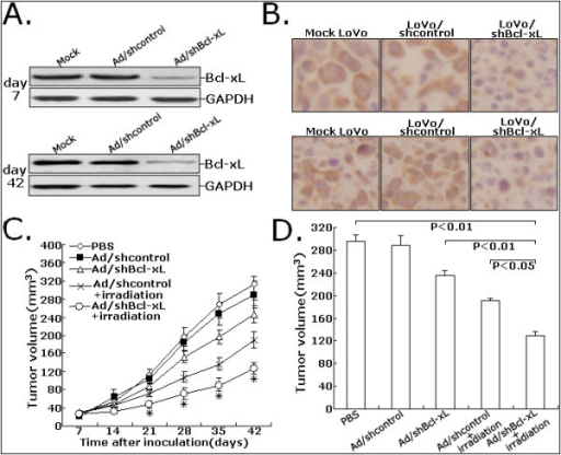 Effects of Ad/shBcl-xL on the in vivo sensitivity of LoVo cells to irradiation. A. Protein samples extracted from tumors at day 7 or 42 were determined using Western blot analysis for Bcl-xL expression levels. GAPDH was used as a loading control. B. Immunohistochemistry was performed to detect the expression of Bcl-xL protein in tissues of LoVo tumors treated with PBS, Ad/shcontrol or Ad/shBcl-xL at day 7 or 42. C. Proliferation of tumors in the mice injected with LoVo cells treated with PBS, Ad/shcontrol or Ad/shBcl-xL. D. Dectection of average tumor size at day 42 after the inoculation of LoVo cells treated with PBS, Ad/shcontrol or Ad/shBcl-xL. All experiments were performed in triplicate (n = 3). *P < 0.05 vs mock.