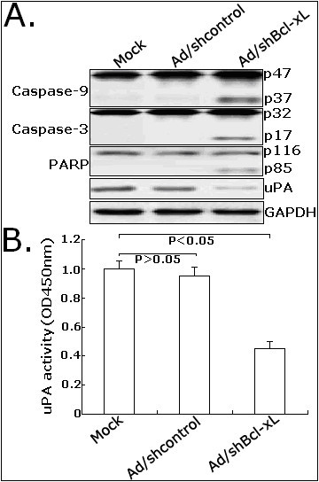 Effects of Ad/shBcl-xL on the expression of apoptosis or metastasis-related proteins in LoVo cells. A. Western blot detection of active caspase-9 (p47 and p37), caspase-3 (p32 and p17), PARP (p116 and p85) and uPA protein expression. B. Analysis of activity of uPA in mock LoVo or LoVo cells infected with Ad/shcontrol or Ad/shBcl-xL. The cells in 24-well plates (5.0 × 105/well) were cultured, starved in serum-free medium overnightand. Measurements were made in three separate experiments, and data are shown as mean ± standard deviation. *P < 0.05 vs mock. OD: optical density.
