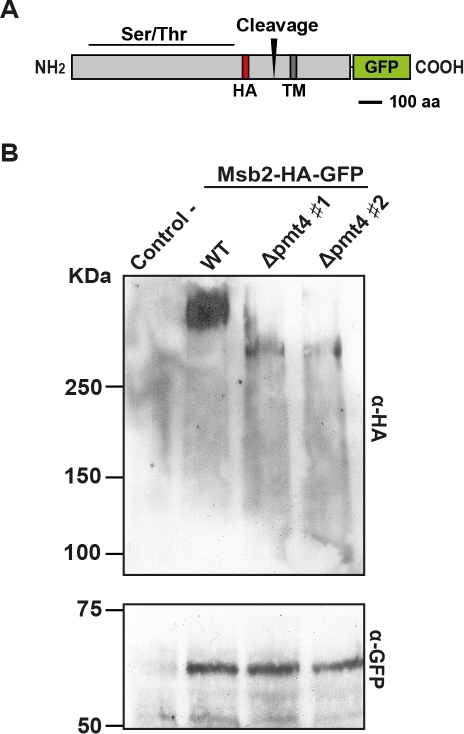 Msb2 is a Pmt4 substrate in U. maydis.A. Domain architecture of the Msb2-HA-GFP fusion protein. The HA-epitope is integrated at amino acid 709 and the C-terminus is fused to GFP. The Ser/Thr rich region as well as the predicted proteolytic cleavage site is indicated. B. Western Blot analysis of Msb2-HA-GFP isolated from SG200Δmsb2/msb2-HA-GFP (WT) and two independent clones of SG200Δmsb2Δpmt4/msb2-HA-GFP (#1 and #2, respectively). SG200 was used as a control. The first gel (above) contains 6% of polyacrylamide and α-HA antibody was used to detect the N-terminal part of Msb2. The other gel (below) contains 10% of polyacrylamide and was treated with α-GFP antibody to detect the C-terminus of Msb2. Equal amounts of proteins of total cell extracts were loaded in each lane.