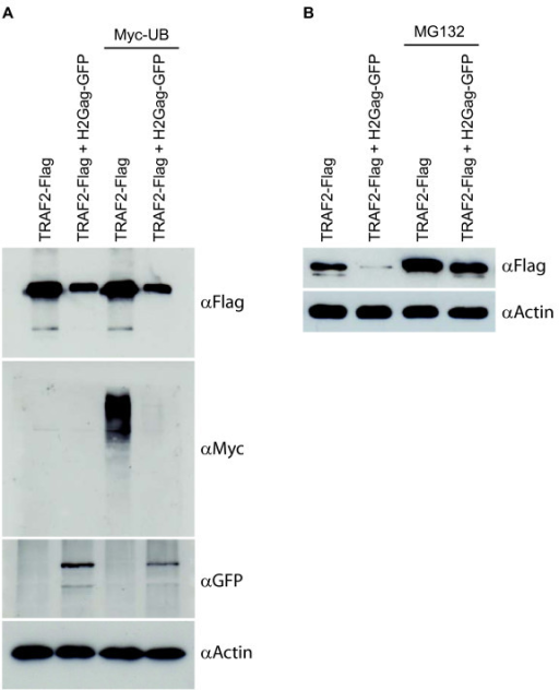 Gag induces proteasomal degradation of TRAF2. (A) Western blot of HEK293T cell extracts transfected with expressing vectors for Flag-TRAF2, HTLV-2Gag-GFP and Myc-ubiquitin. Cell extracts were immunoblotted with anti-Flag, anti-Myc, anti-GFP and anti-actin antibodies. (B) Western blot of HEK293T cells transfected with expressing vectors for Flag-TRAF2 and HTLV-2Gag-GFP, pre-treated or not with the proteasomal inhibitor MG-132 (1 μM) for 24 H. Cell extracts were immunoblotted with anti-Flag or anti-actin antibodies.