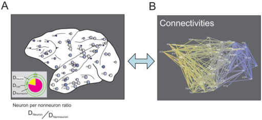Concept of this study.The main aim of this study was to compare cell densities (Figure A) and network organization, which consists of connecting brain regions (Figure B). As shown in Figure A, the cells were categorized into neurons and nonneurons. From these values, the neuron-per-nonneuron ratio was defined according to the equation shown below (A). The network organization was quantified using 27 network variables. Changes in color gradations correspond to the anterior–posterior coordinates.