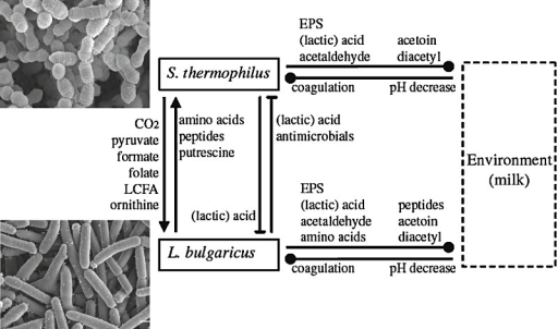 Microbial interactions in yoghurt (adapted from Sieuwerts et al., 2008a). Reprinted with permission from the American Society for Microbiology.