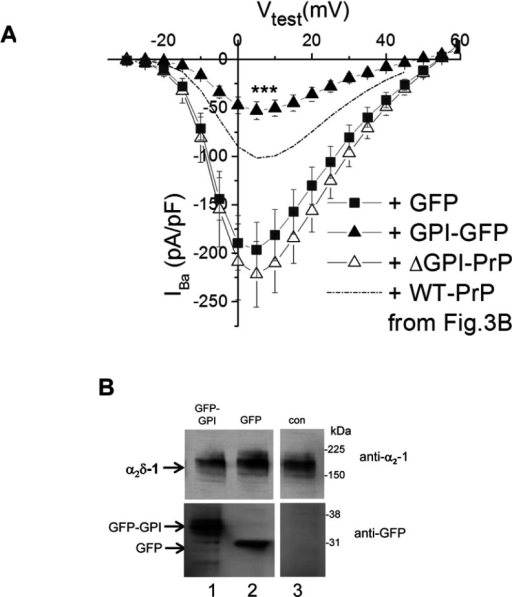 Effect of GPI–GFP on CaV2.1/β1b/α2δ-1 calcium channel currents(A) I–V relationships for IBa recorded from tsA-201 cells expressing CaV2.1/β1b/α2δ-1 with GFP (■; n=9), GPI–GFP (▲; n=9), or GFP and ΔGPI–PrP (△; n=6). The broken line indicates the level of IBa observed for CaV2.1/β1b/α2δ-1 plus WT PrP from Figure 3(B). ***P<0.001 between the peak IBa when GPI–GFP was co-expressed compared with when GFP was co-expressed (Student's t test). (B) Western blot of α2δ-1 (upper panels) co-expressed (1:1) with GFP–GPI (lane 1), GFP (lane 2) or empty vector (lane 3; con). GFP expression is shown in the lower panel. All three lanes are from the same blots from which irrelevant lanes have been excised and the molecular mass is given on the right-hand side in kDa.