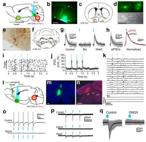 Channelrhodopsin–2–assisted circuit mapping to establish PZVgat→PB→BF and PBVglut2→BFmc→PFC synaptic connectivity(a–f) To map connectivity of 3rd–order downstream PZVgat targets we injected green–retrograde beads into the BFmc (b–c) and DIO– ChR2–mCherry–AAV into the PZ of Vgat–IRES–cre mice (e–f; mCherry immunoreactivity in brown) and we recorded retrogradelly labeled PB neurons (d). (g) Photostimulation of PZVgat terminals evoked GABAergic IPSCs in BFmc–projecting PB neurons (h) Photo–evoked IPSCs (pIPSCs) and spontaneous IPSCs (sIPSCs) had similar decay kinetics (single exponential fits SD: sIPSC = 0.013 and pIPSC = 0.023; τ: sIPSC = 19.02 ms and pIPSC = 18.70 ms). (i–j) Raster plot and average IPSC probability following photostimulation of PZVgat→PB pathway (50 ms bin; n = 5; ± S.E.M). (k) Photo–evoked GABAergic IPSCs recorded in TTX (1 μM + 4–AP 1 mM), indicating monosynaptic connectivity. (l–n) To map PBVglut2→BFmc→PFC connectivity we injected green–retrograde beads into the PFC and DIO–ChR2–mCherry–AAV into the PB of Vglut2–IRES–cre mice (m, beads; n, mCherry native fluorescence). (o–q) Photostimulation of PBVglut2 terminals produced glutamate release and spike firing in PFC–projecting BFmc neurons (p–q, Vh =−60mV). Photostimulation: 5 ms pulses or 2 ms in k. Bicuculline–methiodide 20 mM and DNQX 30 μM). Scale bars: 500 μm in b and m–n; 30 μm in d–e. Abbreviations: 3V, 3rd ventricle; 7n, facial nerve, ac, anterior commissure; BFmc, magnocellular basal forebrain; HDB, horizontal diagonal band of Broca; LC, locus coerleus; LDT, lateraldorsal tegmental nucleus; MCPO, magnocellular preoptic nucleus; PB, parabrachial nucleus; PFC, prefrontal cortex; PZ: parafacial zone; scp: superior cerebral peduncle; SI: substantia innominate.