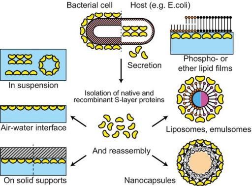 Schematic drawing of the reassembly of isolated S-layer (glyco)proteins in suspension, at the air–water interface, on solid supports, on lipid films, on liposomes, emulsomes, polyelectrolyte nanocapsules, and (magnetic) beads.