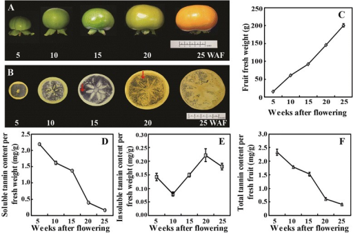 Measurement of tannin content in 'Eshi No. 1' (CPCNA) fruits at different development stages. A. Representative photos showing the fruits sampled at five stages, 5, 10, 15, 20 and 25 weeks after flowering (WAF) of 'Eshi No. 1'. B. Analysis of soluble tannin content in the persimmon fruits based on an imprinting method. The red arrows show that the staining became weaker from 15 to 20 WAF. C. Change in the fruit weight at the five sampling stages. D-E. Quantitative measurement of soluble (D) and insoluble (E) tannin in the fruits by folin-ciocalteu method. F. Total tannin content in the fruits.