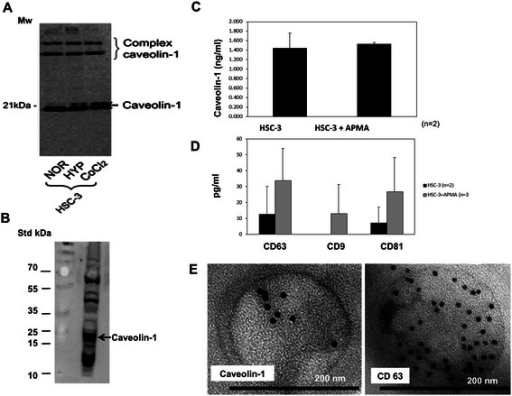 Caveolin-1 in monolayer HSC-3 extracts (A) and in exosomes isolated from their media (B-D). A. Caveolin-1 protein are seen as strong monomeric bands (~21 kDa) (and in complex forms, ~50 kDa – 60 kDa) in whole HSC-3 cell extracts cultured in monolayers under normoxic (NOR) conditions. Hypoxic (HYP) oxidative conditions and hypoxia mimicking CoCl2 media yield similar results. B. Exosomes isolated from the media of HSC-3 normoxic monolayer submitted to Western blotting for caveolin-1 show strong bands in the 20–23 kDa form (and in complex forms, ~50 kDa – 60 kDa). C. Results of ELISA tests performed on the exosomes isolated from HSC-3 monolayer media reveal caveolin-1 expression. The results are presented as the mean amount (±SD) of each protein of experiments with and without APMA induction. D. ELISA performed on HSC-3 exosomes shows the expression of the exosomal markers, CD63, CD9 and CD81. The results are presented as the mean amount (±SD) of each protein, with and without APMA induction. E. Immuno-electron microscopy that was performed on the monolayer media-isolated exosomes features round-shaped, membrane-bound nanoparticles that contain dots positive for both caveolin-1 and CD63.