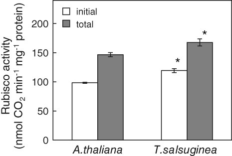 The initial and total activity of Rubisco measured in leaves of Arabidopsis thaliana and Thellungiella salsuginea plants treated with water. Data represent mean ± sd (n = 3). 'Asterisk' indicates a significant difference from A.t. from the same treatment.