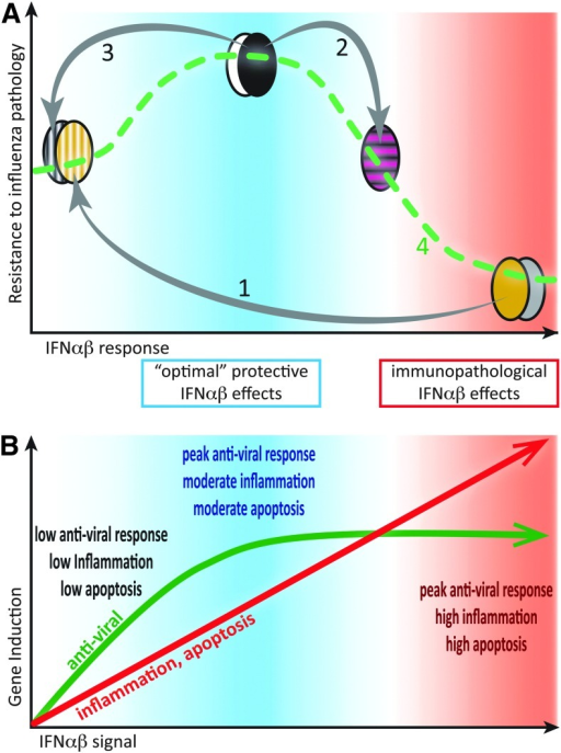 Moderate IFN-αβ responses to infection are protective, while excessive IFN-αβ amounts contribute to immunopathology. (A) Bell-shaped curve displaying resistance to influenza severity as a function of IFN-αβ responses, based on experimental findings in Davidson and others (2014) and other studies. High IFN-αβ-expressing mouse strains (eg, 129, DBA, agouti, and gray symbols) are highly susceptible to influenza, and genetic removal of IFN-αβ from such strains increases resistance (1). Conversely, exogenous addition of IFN-αβ to resistant, low IFN-αβ-expressing mouse strains (eg, C57BL/6, Balb/C, black, and white symbols) reduces their resistance to influenza (2). However, if the moderate IFN-αβ responses in C57BL/6 mice are genetically removed, influenza resistance is reduced (3). Linking these data points generates a dose–response curve (4) where moderate IFN-αβ responses protect and high IFN-αβ responses are detrimental. (B) Induction of antiviral (green) versus proinflammatory, antiproliferative, and apoptosis-promoting (red) genes as a function of IFN-αβ signal strength based on results and hypotheses, as reviewed in (Piehler and others 2012). We hypothesize that moderate IFN-αβ responses are protective in influenza infections as effective antiviral responses are balanced with moderate inflammation and apoptosis induction. Higher IFN-αβ signals increase inflammation and cell death, but do not further enhance induction of antiviral effectors.