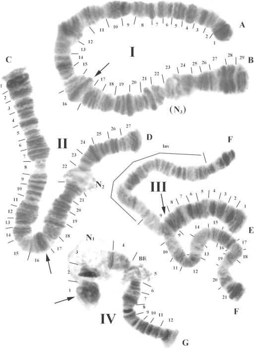 Representative karyotype of the Polypedilumvanderplanki population from Nigeria. Chromosome numbers are indicated as I, II, III and IV. Chromosome arms are labeled A–B, C–D, E–F, and G. The expected locations of the centromeres are indicated by arrows and each section is numbered and delimited by short lines. N1, N2, (N3): nucleoli, BR: Balbiani ring, Inv: inversion.
