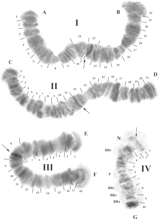 Representative karyotype of the population from Malawi. Chromosome numbers are indicated as I, II, III and IV. Chromosome arms are labeled A–B, C–D, E–F, and G. The expected locations of the centromeres are indicated by arrows and each section is numbered and delimited by short lines. N: nucleolus. BR1, BR2, BR3, BR4: Balbiani rings, P: puff.