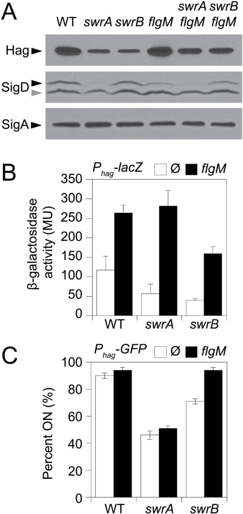 "SwrB increases σD activity but not σD protein levels.A) Western blot analysis of whole cell lysates from the indicated genetic backgrounds probed with anti-Hag, anti-SigD, and anti-SigA primary antibodies. Black carets indicate antibody specific targets. Gray caret indicates a non-specific cross-reacting band recognized by the anti-SigD antibody. Strains used to generate this panel: wild type (DS908), swrA (DS4015), swrB, (DS4040), flgM (DS4264), swrA flgM (DS4034), swrB flgM (DS4090). B) β-galactosidase assays of Phag-lacZ transcriptional activity expressed in Miller Units in the indicated genetic backgrounds. The Ø symbol indicates that no further genetic modification was included whereas ""flgM"" indicates the introduction of a flgM mutation to the indicated genetic background. β-galactosidase values presented in S3 Table. The following strains were used to generate this panel: wild type (DS9461), flgM (DK313), swrA (DK288), swrA flgM (DK318), swrB (DK289), swrB flgM (DK319). C) The frequency of fluorescent ""ON"" cells expressing Phag-GFP in the indicated genetic backgrounds. Over 600 cells were counted per strain in triplicate to obtain average percentages and standard deviations. The Ø symbol indicates that no further genetic modification was included whereas ""flgM"" indicates the introduction of a flgM mutation to the indicated genetic background. Sample raw data images used to generate the percentages are presented in S1 Fig. Strains used to generate this panel: wild type (DS908), swrA (DS4015), swrB (DS4040), flgM (DS4264), swrA flgM (DS4034), and swrB flgM (DS4090)."