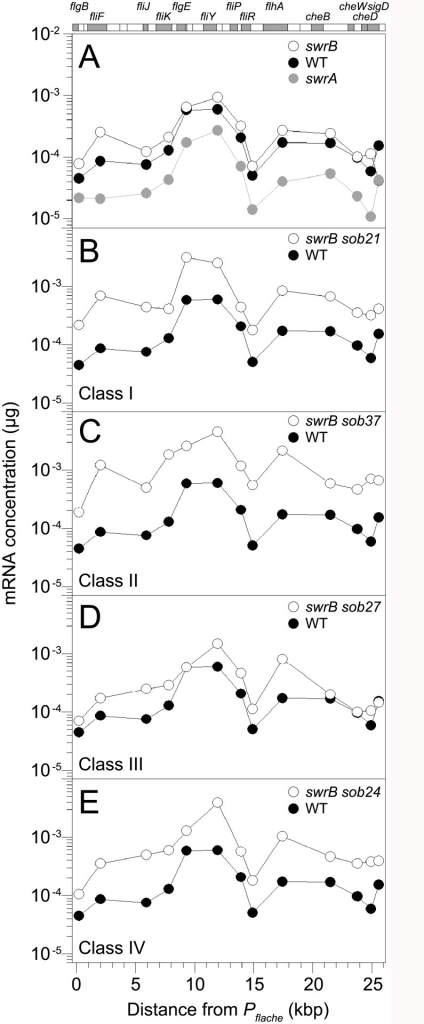 Some sob classes increase fla/che operon expression.QRT-PCR analysis of fla/che operon transcript levels at various positions in the operon. At the top of the graphs is a schematic of the fla/che operon where individual genes are drawn to scale and represented as boxes. Shaded boxes correspond to the locations of data points immediately below. Data points express the mRNA concentration corresponding to the gene probed by QRT-PCR at the kb distance fla/che operon transcriptional start site. Each data point is the average of three independently harvested RNA samples from whole cell lysates normalized to the transcript abundance of the constitutively expressed sigA gene. For each graph, the same wild type dataset from strain 3610 (closed circles) was used as a comparator. The following strains were used to generate this panel: A) swrA (DS2415), swrB (DS234), B) swrB sob21 (Class I, DS9148), C) swrB sob37 (Class II, DS9831), D) swrB sob27 (Class III, DS9154), and E) swrB sob24 (Class IV, DS9151).
