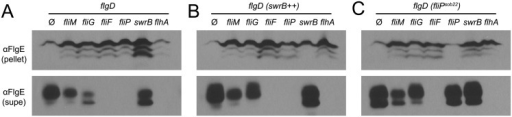 SwrB overexpression bypasses the hook protein secretion hook in cells mutated for FliM and FliG but not cells mutated for FliF.A) FlgE secretion assay in a hook cap (flgD) mutant background. Mutation of the hook cap FlgD has previously been shown to abolish FlgE polymerization and allow constitutive secretion of FlgE into the extracellular environment [51,65]. Cell pellet (pellet) and cell supernatant (supe) samples were harvested from B. subtilis cultures of the indicated genetic background and probed with anti-FlgE primary antibody. The following strains were used to generate the panel: ΔflgD (DK2102), ΔflgD ΔfliM (DK2103), ΔflgD ΔfliG (DK2201), ΔflgD ΔfliF (DS2229), ΔflgD ΔfliP (DK2199), ΔflgD ΔswrB (DK2214), and ΔflgD ΔflhA (DK2198). B) FlgE secretion assay in a hook cap (flgD) mutant background and in which swrB is artificially expressed from the IPTG-inducible Physpank promoter (swrB++). Strains contain the thrC::Physpank-swrB construct and were grown in the presence of 1 mM IPTG. The following strains were used to generate the panel: ΔflgD swrB++ (DK2282), ΔflgD ΔfliM swrB++ (DK2283), ΔflgD ΔfliG swrB++ (DK2284), ΔflgD ΔfliF swrB++ (DK2285), ΔflgD ΔfliP swrB++ (DK2286), ΔflgD ΔswrB swrB++ (DK2287), and ΔflgD ΔflhA swrB++ (DK2288). C) FlgE secretion assay in a hook cap (flgD) mutant background and in which the fliPsob22 allele was ectopically expressed from the native fla/che promoter. The following strains were used to generate the panel: ΔflgD fliPsob22 (DK2289), ΔflgD ΔfliM fliPsob22 (DK2290), ΔflgD ΔfliG fliPsob22 (DK2291), ΔflgD ΔfliF fliPsob22 (DK2292), ΔflgD ΔfliP fliPsob22 (DK2293), ΔflgD ΔswrB fliPsob22 (DK2294), ΔflgD ΔflhA fliPsob22 (DK2295).