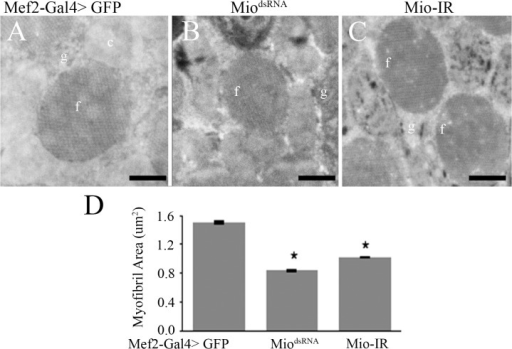 Mio affects myofibril size in pharate adults.Transmission Electron Microscopy of Indirect Flight Muscles of Mef2-Gal4>MiodsRNA and Mef2-Gal4>Mio-IR pharate adults compared to Mef2-Gal4>GFP controls. Panels (A), (B) and (C) show cross sections of the myofibrils. Bars indicate 0.5μm. f, myofibril; c, mitochondrion; g, glycogen granules. (D) Average myofibril area of Mef2-Gal4>MiodsRNA and Mef2-Gal4>Mio-IR pharate adults compared to Mef2-Gal4>GFP controls (n = 3–5). Values represent average myofibril area ±SEM. *p<0.05 by One-way ANOVA with post hoc Tukey test.
