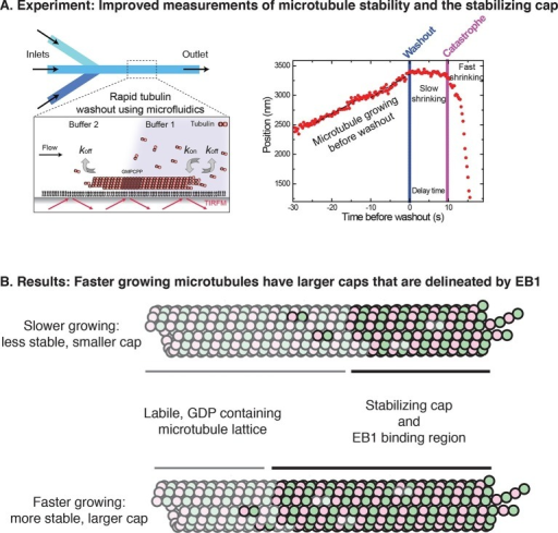 "A modernized form of a classic technique enables the growth and stabilization of microtubules to be studied.(A) Left: Duellberg et al. used microfluidics to abruptly stop microtubule growth via the ""washout"" approach. Right: Sample data showing microtubule length versus time. Before washout, the microtubule grows steadily; after washout, it shrinks slowly for a time; and after catastrophe, it shrinks rapidly (Panel adapted from Figures 1A and 2A, Duellberg et al.). (B) Duellberg et al. observed correlations between the microtubule growth rate and the size of the stabilizing cap, which consists of GTP-bound αβ-tubulin subunits (indicated by the non-faded circles). The caps are marked by EB1 proteins (not shown explicitly)."