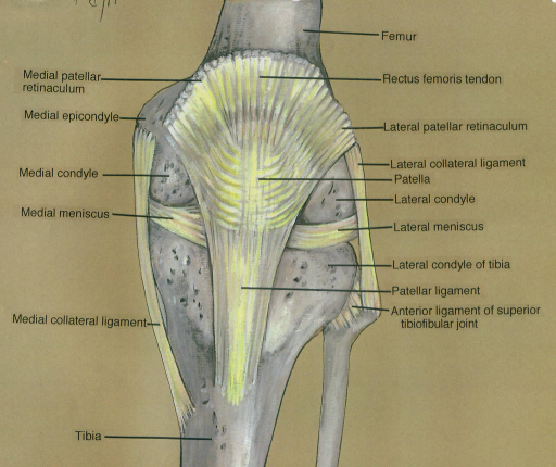 medial patellar retinaculum; medial epicondyle; medial condyle; medial meniscus; medial collateral ligament; tibia; femur; rectus femoris tendon; lateral patellar retinaculum; lateral collateral ligament; patella; lateral condyle; lateral meniscus; lateral condyle of tibia; patellar ligament; anterior ligament of superior tibiofibular joint