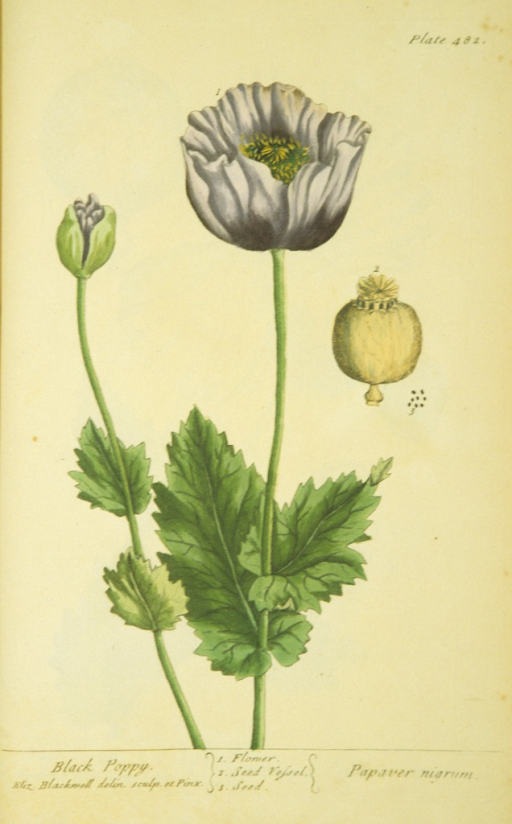 <p>Illustration of the flower and seeds of a black poppy plant.</p>