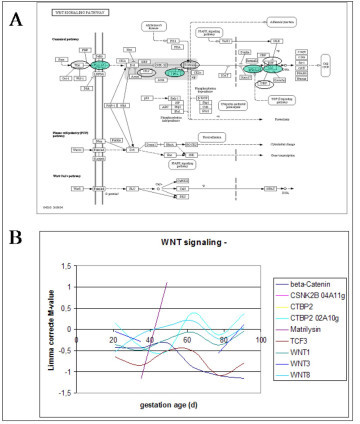 The WNT signalling KEGG pathway consisting of three subpathways with the genes on the microarray encircled (A) and expression profiles of genes during porcine myogenesis (B). The expression profiles indicate the gestational age at the X-axis and the expression profile as indicated by the differential expression on the microarray on the Y-axis. All genes on the microarray are located on the top subpathway directed to influence the cell cycle, i.e. proliferation of myoblasts in myogenesis.