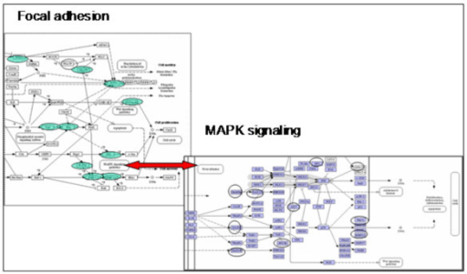 The Figure shows an example of the connection of the KEGG pathways Focal adhesion (partial pathway, Green genes) and MAPK signalling (partial pathway, blue genes). Both biochemical pathways indicate connections to each other (indicated in the boxes) and gene profiles were produced on the microarray.