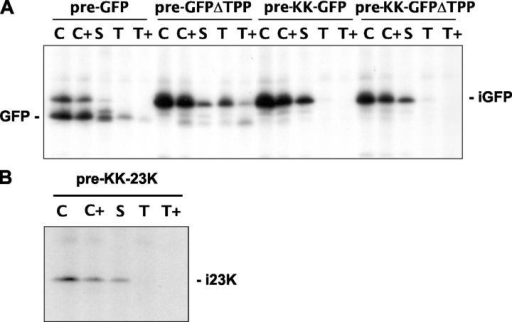 Complete maturation of pre-GFP and pre-23K is totally dependent on an intact RR motif. Pre-GFP, pre-GFPΔTPP, pre–KK-GFP, pre–KK-GFPΔTPP, and pre–KK-23K were expressed in protoplasts, followed by pulse and chase treatments as described in Fig. 4. The chloroplasts were isolated and samples prepared of chloroplasts (C), protease-treated chloroplasts (C+), stroma (S), thylakoids (T), and thermolysin-treated thylakoids (T+) as for chloroplast import experiments in Fig. 2. Samples were immunoprecipitated using antibodies to GFP (A) or 23K (B).