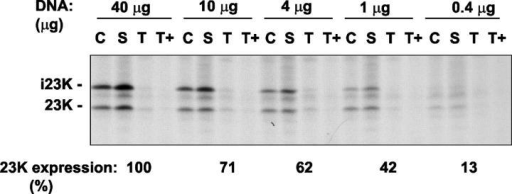 Translocation reversal is not strictly linked to expression levels. Protoplasts were transfected with DNA encoding pre-23K under standard conditions (40 μg DNA per incubation) or with smaller amounts of DNA as indicated. Cells were labeled for 3 h with 35S-Met and 35S-Cys and then fractionated as in Fig. 5. Samples were subjected to immunoprecipitation with antibodies to 23K and the i23K, and 23K bands were quantitated using a phosphorimager; the combined radiolabeled contents (arbitrary units) are shown under the autoradiogram, with 100% representing the expression level obtained with 40 μg DNA.