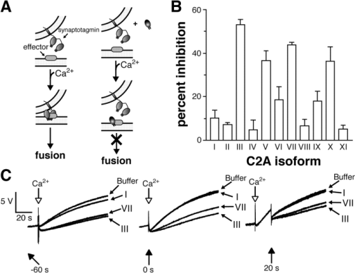 Screening the C2A domains of syt I–IX for inhibition of exocytosis. (A) A model of syt function during exocytosis; Ca2+–syt triggers release via interactions with effector molecules. Addition of exogenous C2 domains derived from different syt isoforms competes with endogenous syt for effector interactions, thereby inhibiting fusion. (B) C2A domains derived from syts I–XI exhibit different abilities to disrupt catecholamine release from PC12 cells. The indicated C2A domain (10 μM) was added to the reaction chamber 1 min before release was triggered with 100 μM CaCl2. Control samples lacking recombinant protein (buffer alone) were analyzed in parallel and used to calculate the percentage of inhibition. We note that some experiments were performed at the lowest [Ca2+] at which we could reliably measure secretion; in these experiments, the C2A domains of syt III and VII exhibited the same inhibitory activity that was observed at 100 μM Ca2+ (unpublished data). (C) Inhibition of catecholamine release by C2A-III and C2A-VII occurs at all times during the release process. C2A-I, -III, and -VII (10 μM) were added at the indicated time (relative to Ca2+ addition). For each timing experiment, release profiles were superimposed along with a control trace (buffer only).