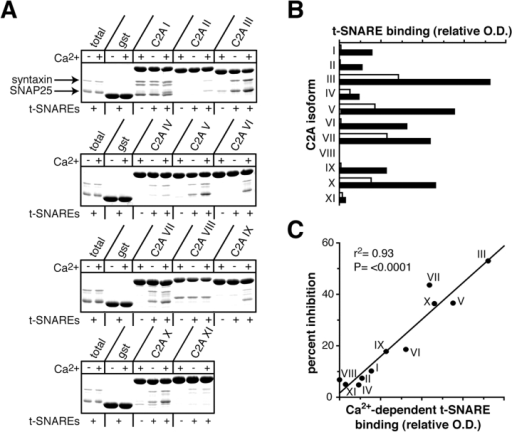 Inhibitory C2A domains bind t-SNAREs. (A) t-SNARE–binding profiles of the C2A domains derived from syts I–XI. Immobilized GST–C2A fusions (20 μg in 150 μl HBS plus 0.5% Triton X-100) and 5 μM t-SNARE hetero-dimer were incubated in 2 mM EGTA (− Ca2+) or 1 mM CaCl2 (+ Ca2+). 20% of bound protein and 3% of total t-SNARE was subjected to SDS-PAGE and stained with Coomassie blue. (B) The C2A domains exhibit different degrees of Ca2+-dependent t-SNARE binding. The t-SNARE–binding assay shown in A was quantified by densitometry, and relative optical density (O.D.) was plotted in the presence (black bars) or absence (white bars) of Ca2+. (C) Inhibition of catecholamine release by C2A domains correlates with t-SNARE binding. The percentage of inhibition was plotted as a function of Ca2+-dependent t-SNARE binding.