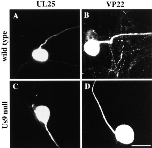 The axonal localization of the tegument proteins UL25 and VP22 does not require Us9. Less than 10% of the neurons in the cultures were infected for 8 h with the wild-type (A) or the Us9- virus (C) and then were fixed and permeabilized. Antibodies that recognize UL25 (A and C) revealed the subcellular localization of this tegument protein in infected neurons. In a second series of experiments, <10% of the neurons in the cultures were infected for 12 h with the wild-type (B) or the Us9- virus (D) and then were fixed and permeabilized. The neurons were labeled with antibodies that recognize VP22 (B and D). Bar, 25 μm.