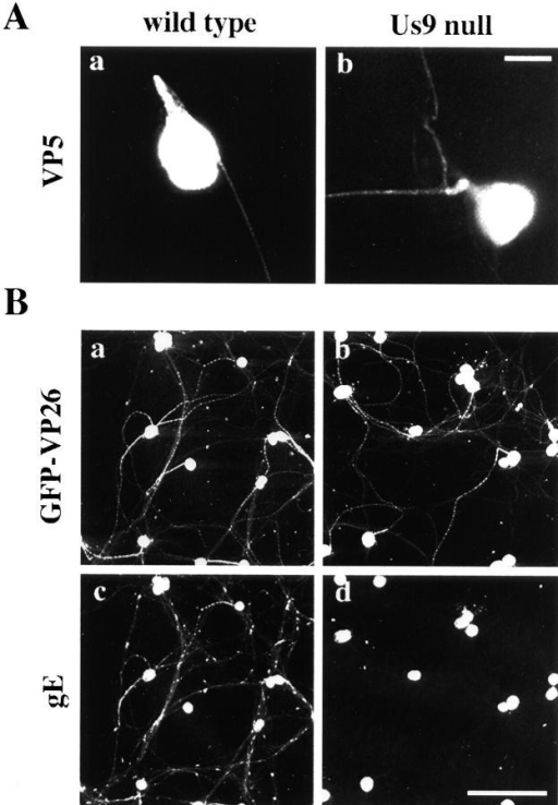 The axonal localization of two capsid proteins does not require Us9. (A) Less than 10% of the neurons were infected for 12 h with the wild-type (a) or the Us9- virus (b) and then were fixed and permeabilized. An antibody that recognizes the major capsid protein VP5 was used to label capsids in the infected neurons. (B) Viruses that express a GFP capsid fusion (GFP–VP26) from the wild-type and Us9- viral genomes were used to infect all neurons in the culture for 17 h and then were fixed and permeabilized. Antibodies that recognize GFP-labeled capsids in the infected neurons. gE localization in the same fields is shown (c compared with d) and required Us9 to localize to axons. Bars: (A) 25 μm; (B) 150 μm.