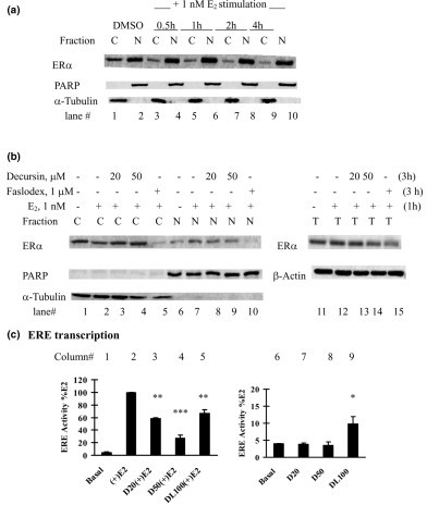 Effects of pyranocoumarins on estrogen receptor alpha nuclear translocation and transactivation in MCF-7 cells. (a), (b) Inhibitory effects of decursin on estrogen receptor (ER)α nuclear translocation in MCF-7 cells. (a) The time course of ERα nuclear translocation in MCF-7 cells stimulated by 17β-estradiol (E2) was first established in estrogen-starved MCF-7 cells. Fresh medium without or with 1 nM E2 was added. At different time points, nuclear (N) and cytosolic (C) fractions were prepared for western blot analyses. Poly(ADP-ribose) polymerase (PARP) and α-tubulin were detected as markers of N and C proteins, respectively. DMSO, dimethylsulfoxide. (b) For the decursin experiment, estrogen-deprived MCF-7 cells were pretreated with decursin for 2 hours and were stimulated with 1 nM E2 for 1 hour (total decursin exposure time, 3 hours). N and C fractions were prepared for western blot analyses. One-tenth nuclear fraction was used compared with the time-course experiment to show the difference. The total lysate ERα level was determined (right panel). (c) Differential effects of decursin versus decursinol on estrogen-response element (ERE) activity in MCF-7 cells: left, with E2; right, without, E2. An aliquot of 1 × 105 MCF-7 cells was placed in a 12-well plate and cotransfected with ERE-luciferase reporter plasmid and pSV-β-galactosidase reporter in phenol-red free improved minimum essential medium (PRF-IMEM) without serum and insulin. After transfection for 24 hours, the cells were treated with different concentrations of decursin (D, 20 μM, 50 μM), decursinol (DL, 100 μM) or DMSO in the absence or presence of 1 nM E2 for 24 hours. Cells extracts were prepared for luciferase activity and β-galactosidase activity. Mean ± standard error, three independent experiments. *P < 0.05, **P < 0.01, ***P < 0.001 versus basal or E2-stimulated control.