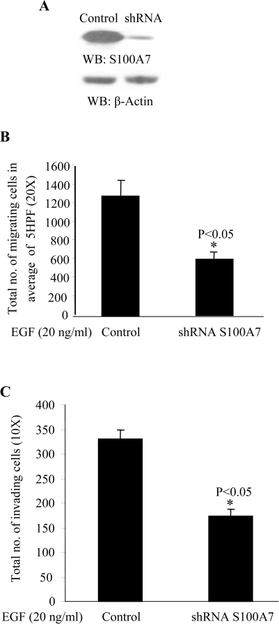 S100A7 knocked-down MDA-MB-468 cells show a decrease in EGF-induced migration and invasion.(A) MDA-MB-468 cells were transfected with vector control or S100A7-shRNA, as described in Materials and Methods. S100A7 expression in these cells was analyzed by Western blotting with anti-S100A7 antibody (upper panel). Equal protein loading in each lane was checked by stripping the blot and probing with β-Actin antibody (lower panel). (B) Control and S100A7 shRNA-transfected MDA-MB-468 cells were subjected to a chemotaxis assay towards EGF (20 ng/ml) using the modified Boyden chamber assay, as described in Materials and Methods. The lower surface of the insert was stained with the Diff-Quik Stain kit and cells were counted in an average of 5 high-power fields (HPF; 20×). Experiments were done in triplicate and repeated three times with similar results. *p<0.05 (C) Control and S100A7 shRNA-transfected MDA-MB-468 cells were subjected to an invasion assay using matrigel-coated transwell plates (BD Biosciences). Chemotaxis towards EGF (20 ng/ml) was then analyzed, as described in Materials and Methods. The cells on the insert were stained with the Diff-Quik Stain kit and total cell numbers were counted (10×). Experiments were done in triplicate and repeated thrice with similar results. *p<0.05.