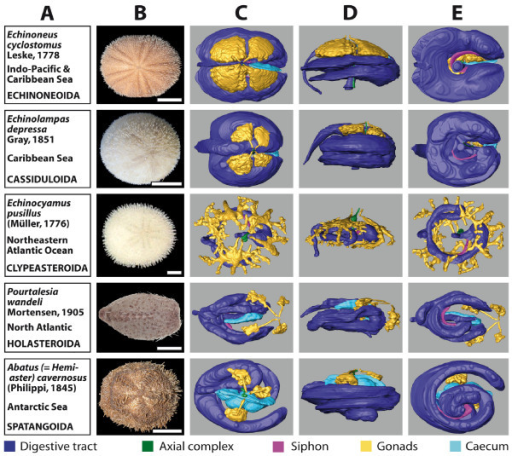 Overview chart showing analyzed specimens of irregular sea urchins and corresponding 3D reconstructions of selected internal organs. (A) Information on species name, geographic distribution, and systematics. (B) Photograph of scanned specimen, aboral view. (C)-(E) 3D models of reconstructed selected internal organs, stepwise turned by 90°: (C) aboral view (ambulacrum III facing to the right); (D) lateral view (ambulacrum III facing to the right); (E) oral view (ambulacrum III facing to the right). Scale bar: 1 cm, except for Echinocyamus pusillus: 1 mm. The colour legend specifies organ designation.
