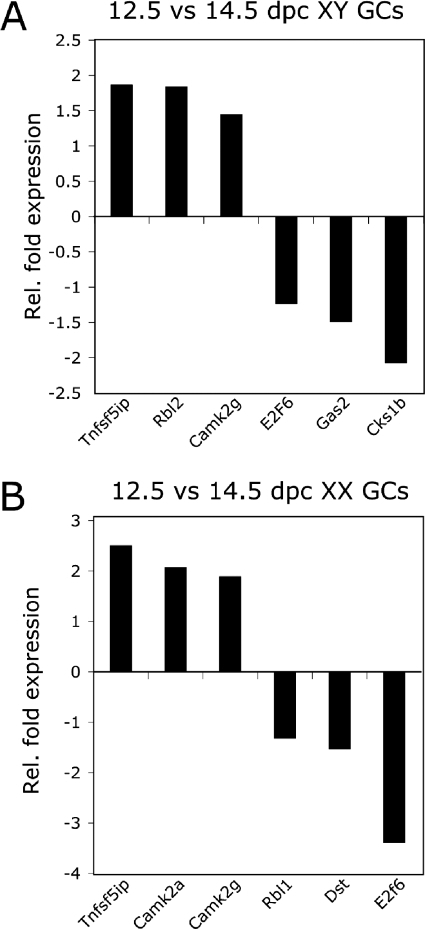 Validation of significantly up- and down-regulated transcripts identified from 12.5 versus 14.5 dpc germ cell populationsqPCR analysis from purified populations normalized to 18S RNA, n=3. (A) Increased fold expression of Tnfs5ip, Rbl2 and Camk2g and decreased fold expression of E2f6, Gas2 and Cks1b in XY 14.5 dpc populations relative to XY 12.5 dpc populations. (B) Increased fold expression of Tnfs5ip, Camk2a and Camk2g and decreased fold expression of Rbl1, Dst and E2f6 in XX 14.5 dpc populations relative to XX 12.5 dpc populations. Gc, germ cell; Rel., relative.