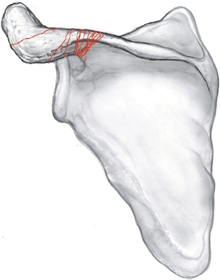 AP illustration of the scapula showing the 13 acromion | Open-i
