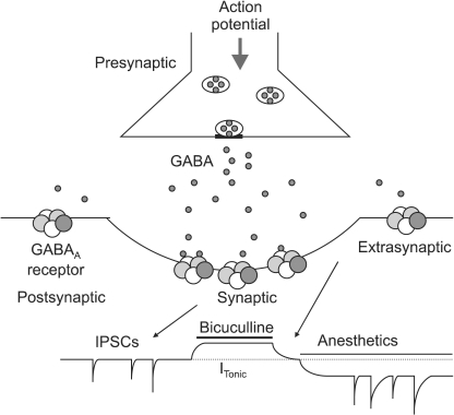 Synaptic and extrasynaptic activation of γ-aminobutyric acid subtype A (GABAA) receptors. Action potential dependent release of GABA into the synaptic cleft transiently activates GABAA receptors in the postsynaptic membrane. This generates inhibitory postsynaptic currents (IPSCs). Extrasynaptic GABAA receptors are activated by low concentrations of GABA in the extracellular space. These receptors have low desensitization rates and can produce a tonic current (continuous current). The tonic current is revealed by application of a GABAA antagonist, Bicuculline, which inhibits the current. Many general anesthetics enhance the tonic current at clinically relevant concentrations. ITonic represents the amplitude of the steady state current.