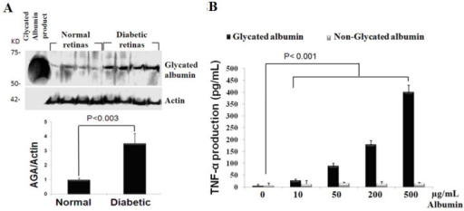 Accumulation of glycated albumin in diabetic retina and its inflammatory potential for microglia cells. A: Glycated albumin expression in normal, 2-weeks diabetic rats, and 12.5 ng of glycated albumin product (Sigma), analyzed by western blot using mouse monoclonal antibody A717. The mean ratio±SD of the intensity of glycated albumin versus actin was indicated below each group. The ratio of normal, non diabetic rats was taken as 1.0. B: Dose-dependent release of tumor necrosis factor α (TNF-α) in glycated albumin-treated microglial cells. Microglial cells were stimulated with 10, 50, 200, 500 µg/ml glycated albumin for 4 h. TNF-α levels assayed by enzyme-linked immunosorbent assay (ELISA) in culture supernatant were compared with corresponding dosage of non-glycated albumin-treated cells and are expressed as means±SD for three independent experiments.