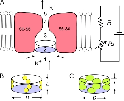 Schematic drawing of the ion conduction pathway of a BK channel and its representation by a two-resistor model. (A) Schematic side view of a section through the transmembrane segments (S0–S6) of a BK channel, with the front and back subunits removed. Arrows show direction of K+ movement for outward currents. The two-resistor model is depicted to the right. Not depicted are the intracellular gating ring with a large square central pore that is 20 Å on a side (Wu et al., 2010) and the side portals (Zhang et al., 2009) between the gating ring and the transmembrane portion of the channel. For outward current, K+ diffuses from the cytoplasm through the central pore of the gating ring and through the side portals (1) to the entrance to the inner cavity, through the entrance (2), through the inner cavity (3), through the selectivity filter (4), and through the shallow extracellular cavity (5) to the extracellular solution. For the two-resistor model, R2 is a variable resistor representing the resistance of the entrance to the inner cavity (2), and R1 is a fixed resistor representing the resistance of the remaining segments (1+3+4+5) of the ion conduction pathway. (B and C) Schematic diagrams of the entrance to the inner cavity for small (B) and large (C) side-chain substitutions at positions 321/324. The effective diameter (D) and length (L) of the entrance to the inner cavity are indicated. Increasing the volume of the side chains at positions 321/324 decreases the effective diameter, increasing the resistance of R2.
