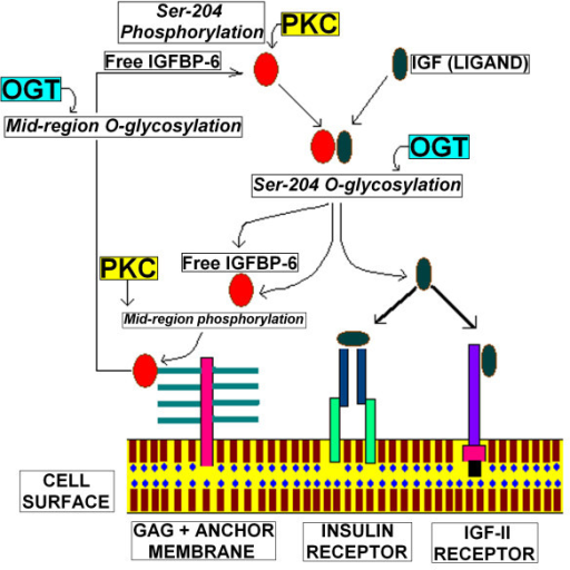 Schematic diagram illustrating the role of IGFBP-6 phosphorylation and O-glycosylation on IGF-II functions. Here we propose that alternative O-β-GlcNAc modification and phosphorylation of Ser 204 control the binding of IGF-II with IGFBP-6 during viral infection, while mid region phosphorylation and O-β-GlcNAc modifications controls it's binding with glycosaminoglycans.