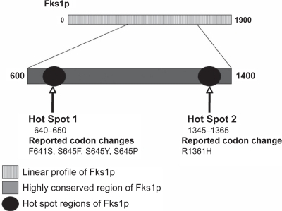 Linear profile of the Fks1p subunit in Candida albicans and loci containing amino acid substitutions associated with reduced echinocandin susceptibility. Adapted with permission from Park S, Kelly R, Kahn JN, et al. 2005. Specific substitutions in the echinocandin target Fks1p account for reduced susceptibility of rare laboratory and clinical Candida sp. isolates. Antimicrob Agents Chemother, 49:3264–73, and from Balashov SV, Park S, Perlin DS. 2006. Assessing resistance to the echinocandin antifungal drug caspofungin in Candida albicans by profiling mutations in FKS1. Antimicrob Agents Chemother, 50:2058–63. Copyright © 2005 and 2006 American Society for Microbiology.