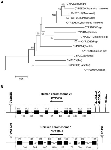 Phylogenetic tree of CYP2D amino acid sequences and genomic structures of human CYP2D6 and chicken CYP2D49.(A) Phylogeny of CYP2D amino acid sequences from the chicken and other animal species. The neighbor-joining tree was created using the Molecular Evolutionary Genetics Analysis Version 4 software. The numbers on the branches indicate the number of times per 100 bootstrap replicates that the branch appeared in the trees, estimated by a random resampling of the data. Only bootstrap values greater than 50% are shown. The scale bar represents 5 substitutions in 100 residues. (B) Genomic structures of human CYP2D6 and chicken CYP2D49. The diagram of the organization of the CYP2D subfamily in humans and chickens was determined by the BLAT analysis of the human and chicken genome data from NCBI database. Exons are indicated by boxes, whereas introns are indicated by lines. The lengths of the exons and introns are expressed in base pairs. The arrowheads indicate the direction of transcription.