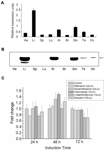 In vivo and in vitro expression patterns of CYP2D49.(A) CYP2D49 transcripts in the indicated tissues of the healthy chicken were detected by real-time PCR amplification. The expression of the target gene was calculated relative to that of 18S rRNA according to the 2−ΔCT method. Error bars represent standard deviations obtained by measuring each sample in triplicate. He-Heart; Li-Liver; Sp-Spleen; Lu-Lung; Ki-Kidney; Br-Brain; Sin-Small intestine; Te-Testis; Ov-Ovary. (B) The lysates of the above chicken tissues were separated by 10% SDS-PAGE and then stained by Coomassie brilliant blue R-250 for normalization of sample loadings. Western blotting analysis using anti-CYP2D49 antiserum was exploited to detect the expression of CYP2D49 at the protein level. (C) LMH cells were treated with rifampicin, clotrimazole, β-naphthoflavone, dexamethasone and bufuralol for 24, 48 and 72 h, respectively. Real-time PCR was used to detect the levels of CYP2D49 mRNA. The ratio of CYP2D49 to β-actin in control cells was set to 1 and the values in all treated cells were normalized relative to this value. The experiments were conducted in triplicate and the data are expressed as the mean ± SD.